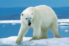 Jour de l'ours polaire 2023